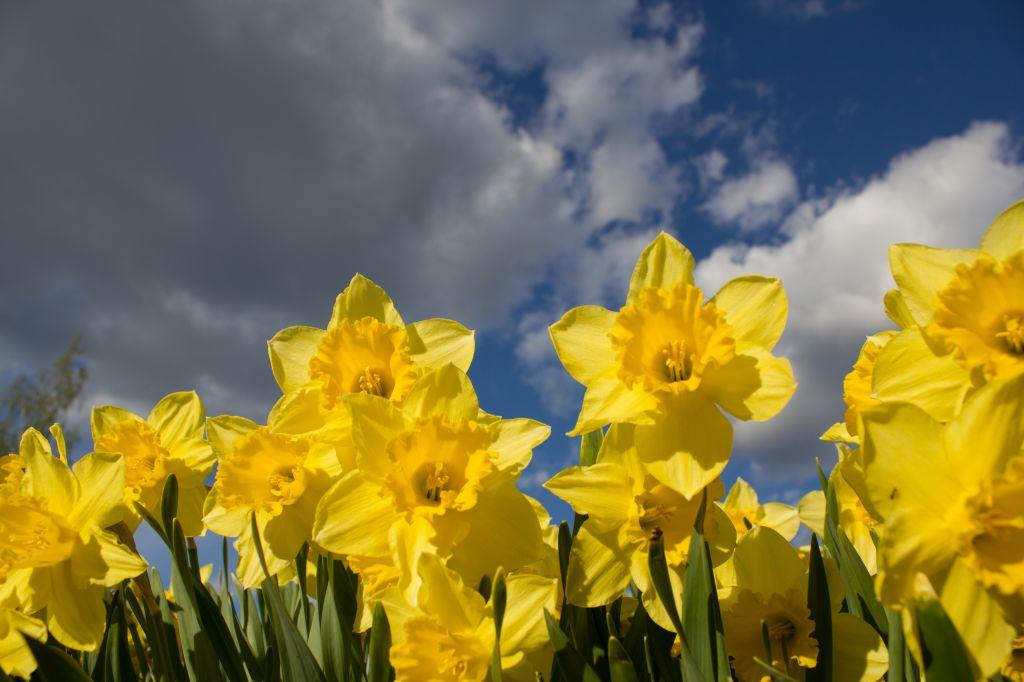 Narsissit auringonvalossa